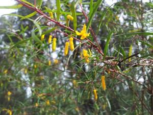 Sydney Australia Endangered Plant Species