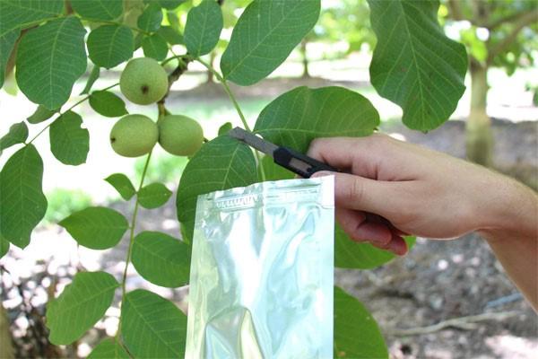 PMS Walnut Leaf 2