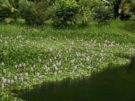 The water hyacinth,