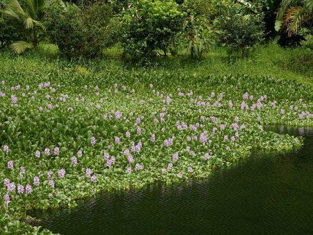 The water hyacinth,