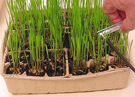 Seedling Chlorophyll