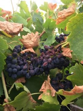 Grapevine Heat Damage