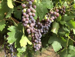 Grape Crop Water Use
